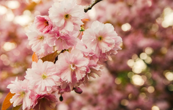 Picture leaves, macro, flowers, nature, branch, spring, Sakura, pink, flowering, bokeh