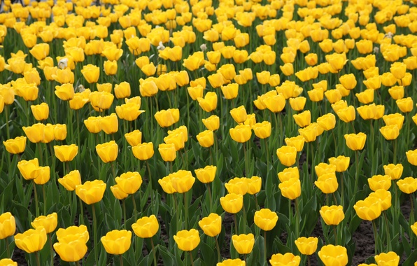 Picture yellow, tulips, flowerbed