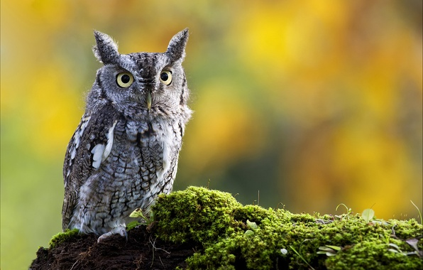 Picture nature, owl, bird, moss, eared