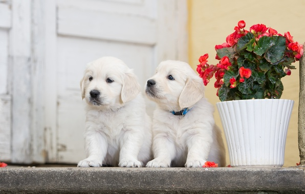 Picture dogs, flower, puppies, a couple, twins, begonia
