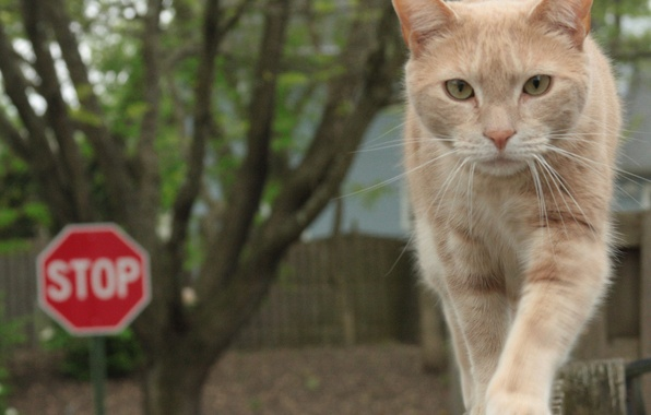 Picture cat, the fence, walk, beige