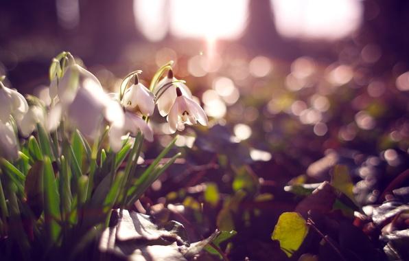 Picture flowers, petals, snowdrops, white, bokeh
