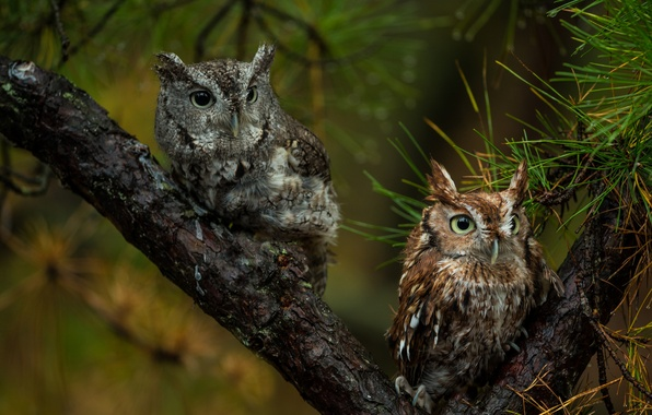 Picture birds, tree, pair, owls