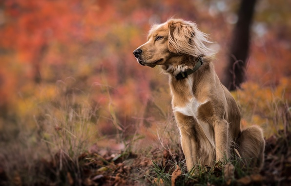 Photo wallpaper autumn, grass, nature, Dog, bokeh