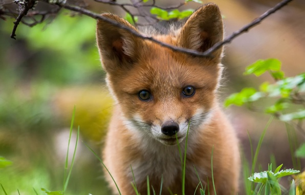 Picture greens, look, nature, muzzle, Fox, Fox