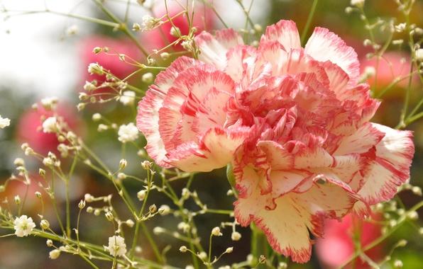 Picture macro, flowers, photo, closeup, Clove