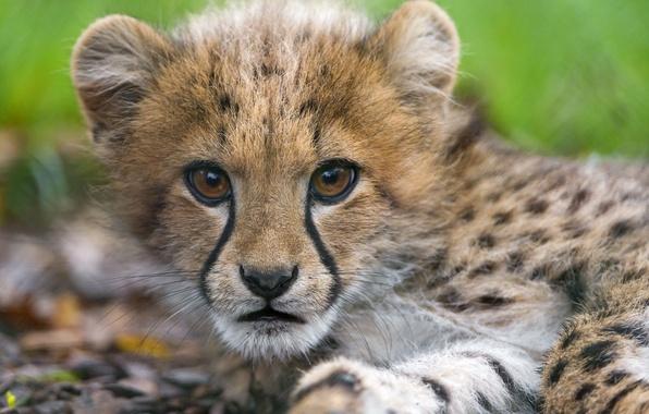 Picture cat, look, face, Cheetah, cub, kitty, ©Tambako The Jaguar