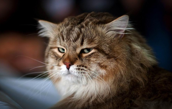 Picture cat, look, fluffy, muzzle
