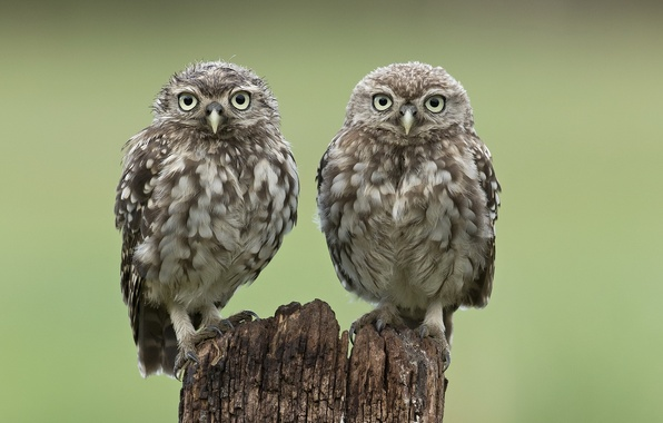 Picture birds, two, stump, owls