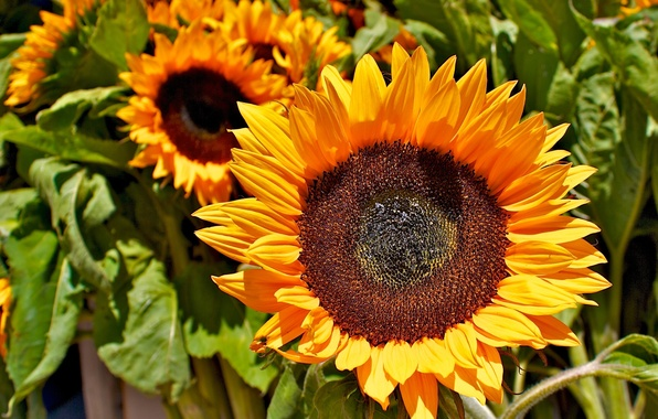 Picture greens, field, flower, leaves, sunflowers, yellow, seeds, field, yellow, Sunflower