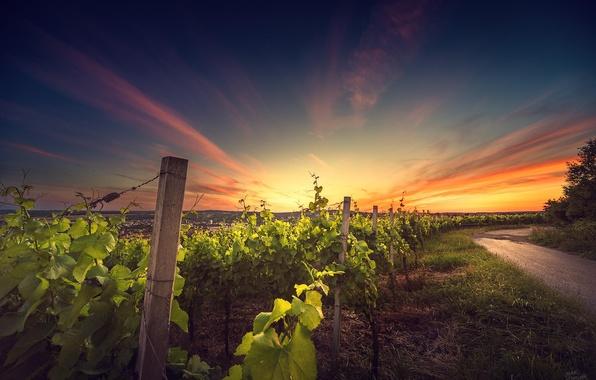 Picture landscape, sunset, nature, vineyard