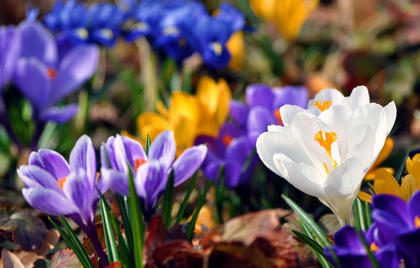 Picture greens, leaves, color, flowers, blue, yellow, background, paint, spring, blur, snowdrops, crocuses, brightness
