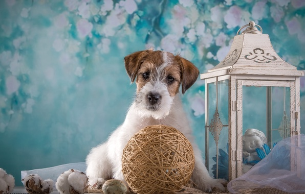 Picture tangle, lantern, puppy, the Sealyham Terrier