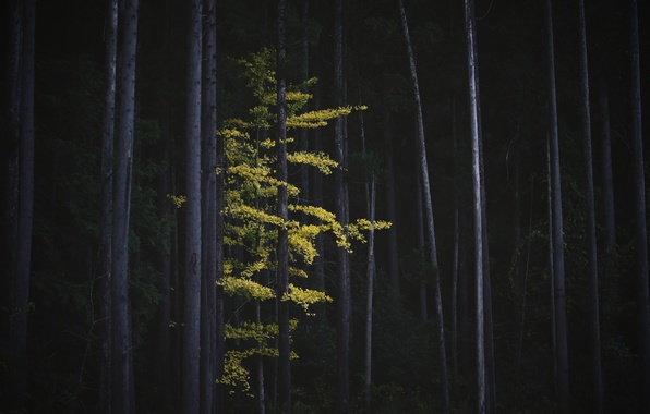 Picture autumn, forest, trees, nature, tree, foliage, Japan, Ginkgo