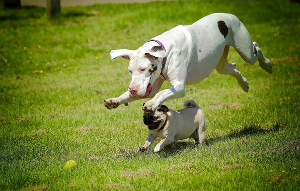 Picture dogs, running, pug, dog, race