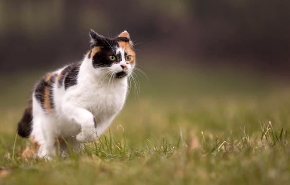 Picture cat, summer, grass, nature, blur, runs, tri-color