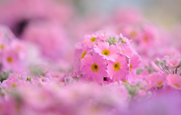Picture macro, flowers, background, pink, widescreen, Wallpaper, wallpaper, flowers, widescreen, background, full screen, HD wallpapers, Primula, …