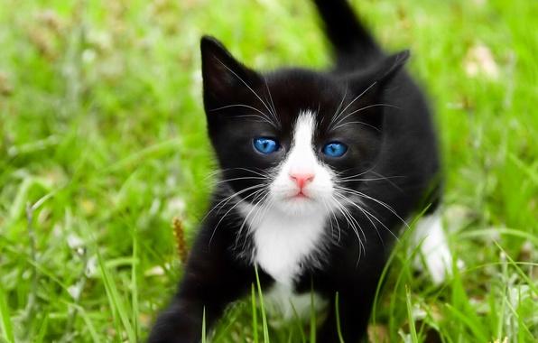 Picture cat, white, grass, cat, macro, kitty, black, blue eyes, cat