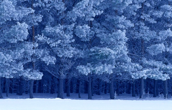 Picture winter, snow, Canada, Manitoba, Scots pine, Birds Hill Provincial Park