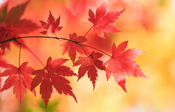 Picture autumn, leaves, background, branch, maple, Japanese maple