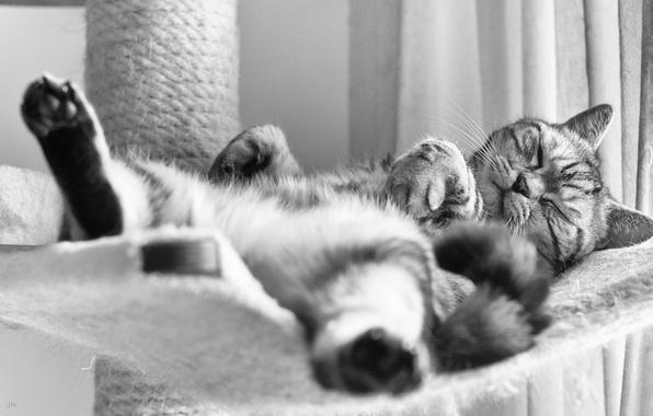 Picture cat, sleep, black and white, British, British Shorthair, sleep