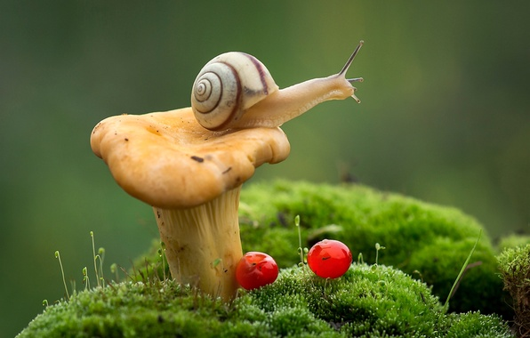 Picture macro, berries, mushroom, moss, snail, Fox