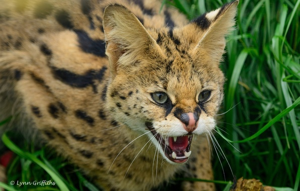 Picture face, anger, predator, rage, mouth, fangs, grin, wild cat, the threat, Serval, Bush cat