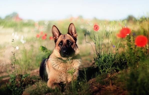 Picture look, each, dog, shepherd