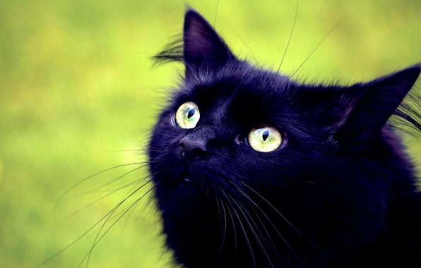 Picture LOOK, BLACK, CAT, MUSTACHE, HEAD, EYES