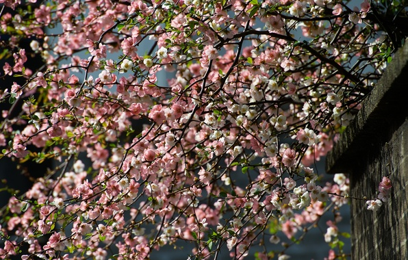 Picture branches, cherry, tree, spring, flowering
