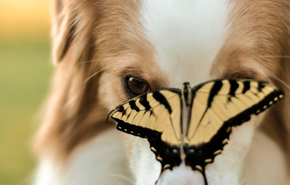 Picture animals, face, background, widescreen, Wallpaper, butterfly, dog, blur, dog, insect, wallpaper, widescreen, dog, butterfly, background, …