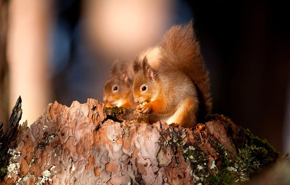 Picture forest, animal, moss, stump, bark, nut, squirrels