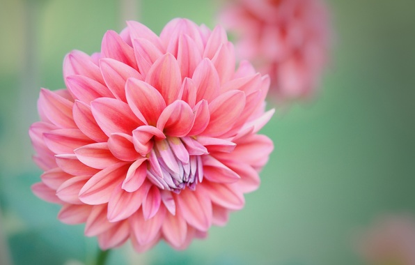 Picture flowers, pink, Bud