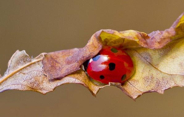 Picture autumn, leaf, ladybug, ladybird