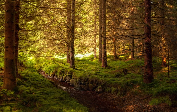 Photo wallpaper thicket, art, trees, moss, spruce forest, water, stream, forest