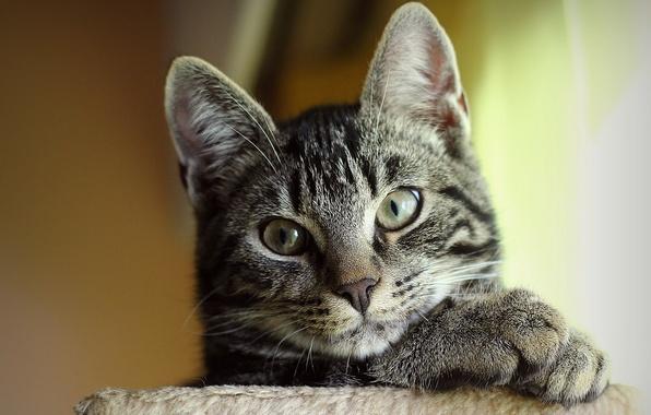 Picture cat, cat, face, striped, Kote