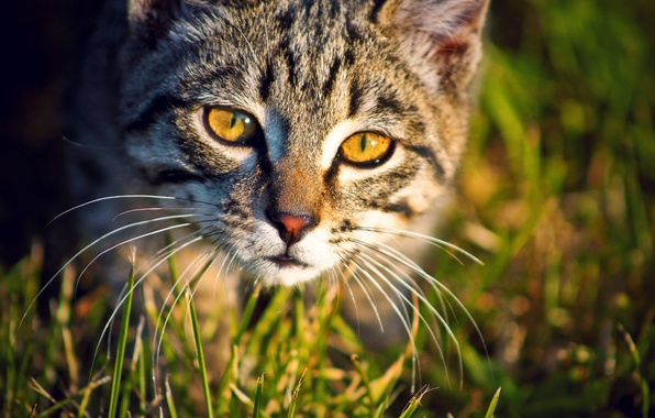 Picture animals, eyes, cat, look, photographer ann_ann, SIM