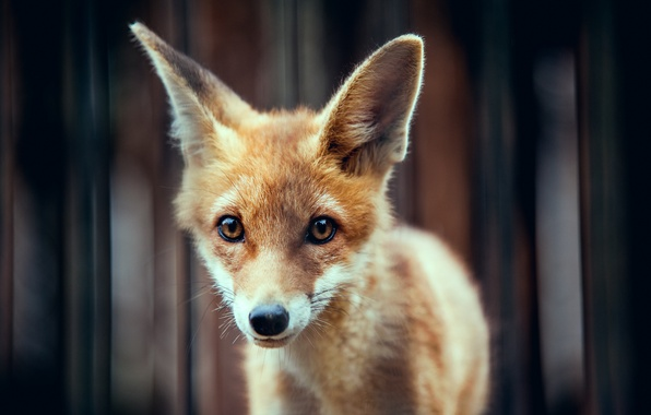 Picture animal, red, muzzle, ears, Fox