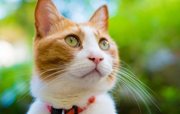 Picture cat, cat, face, red, muzzle, collar