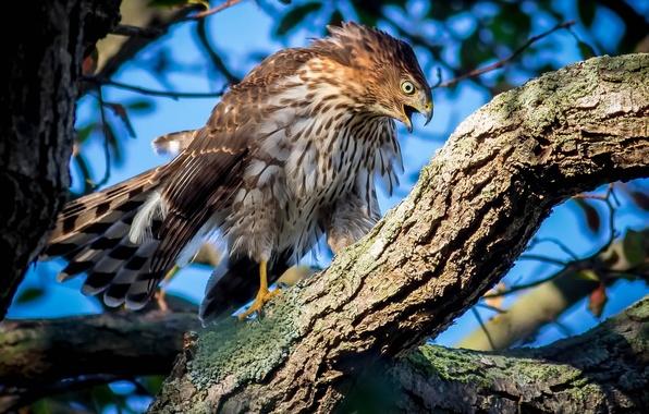 Picture tree, bird, hawk, Hawk Cooper's