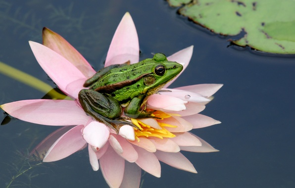 Picture flower, water, nature, sheet, frog