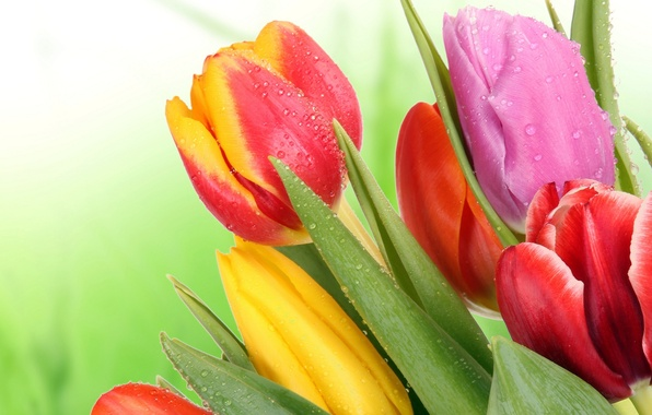 Picture leaves, flowers, bright, beauty, bouquet, petals, tulips, red, red, pink, colorful, yellow, pink, yellow, flowers, …