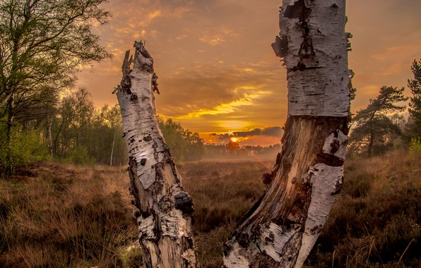 Picture field, forest, the sun, sunset, birch, Sunset in the forrest