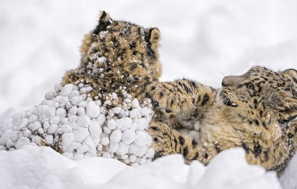 Picture snow, the game, predators, fight, family, wild cats, a couple, snow leopards