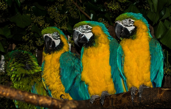 Picture birds, branch, parrots, trio, Ara, Blue-and-yellow macaw