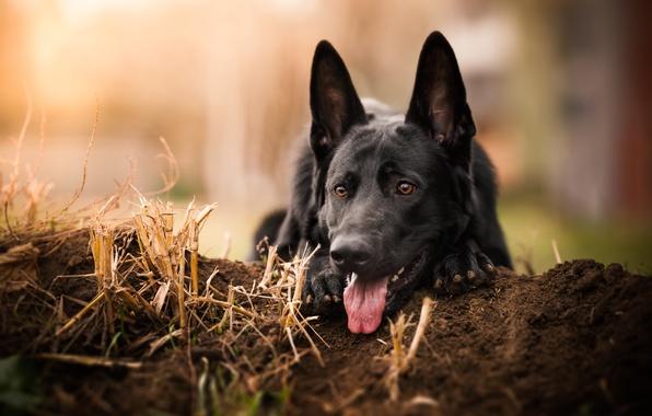 Picture language, face, dog, German shepherd