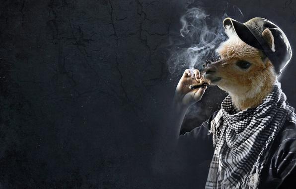Picture cigar, cap, Puma, Lama