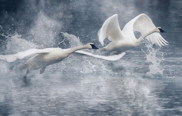 Picture water, squirt, birds, wings, pair, swans, the rise