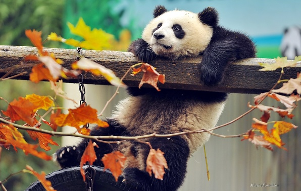Picture autumn, leaves, branches, animal, China, bear, Panda, beast