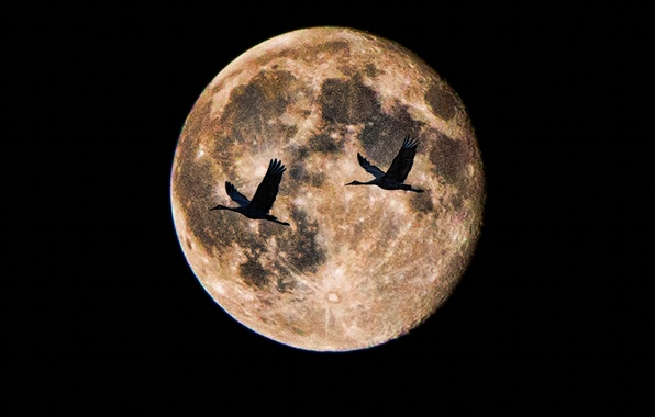 Picture birds, night, the moon